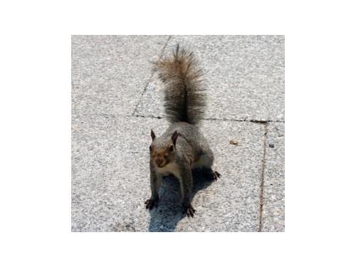 Squirrel control Rochester NY